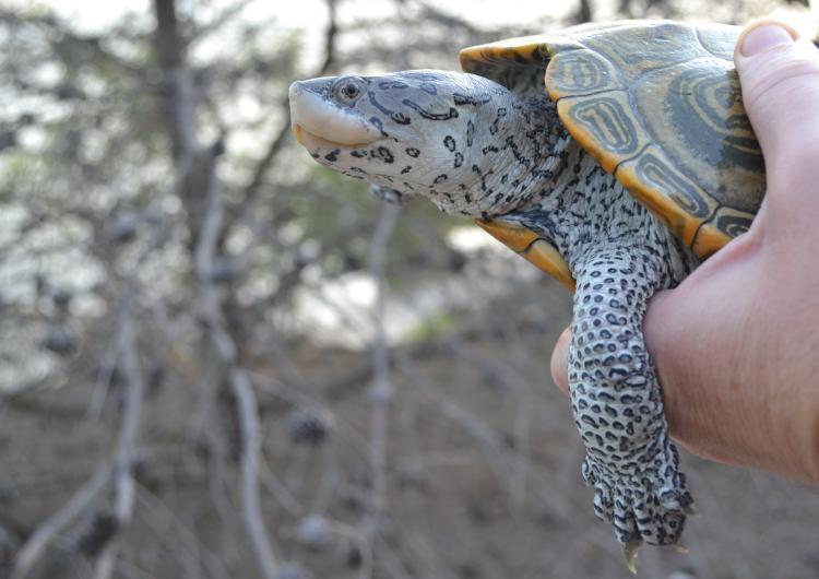 Female terrapin turtle
