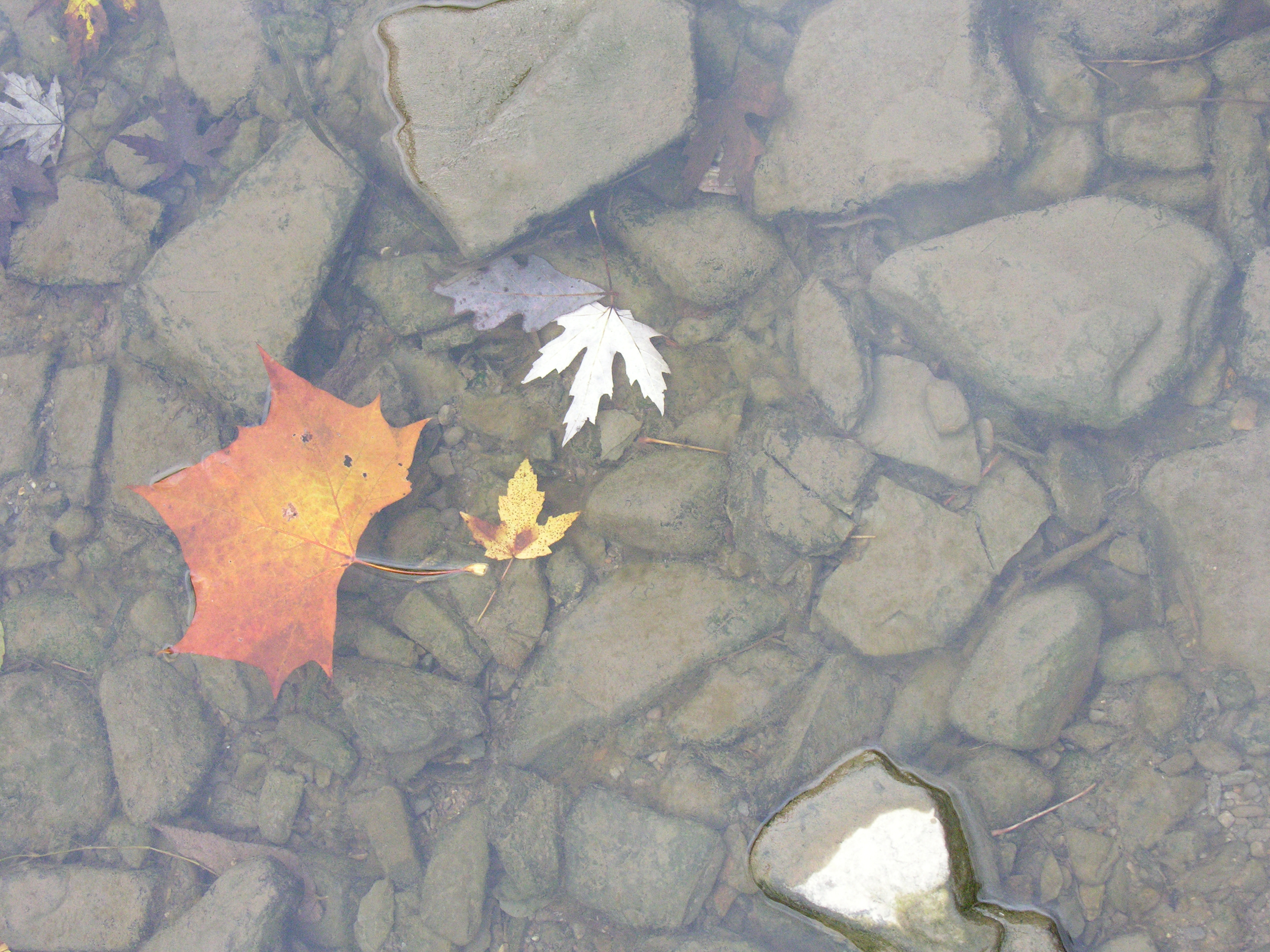 close up of clear mountain stream with floating fall leaves and rocks on bottom