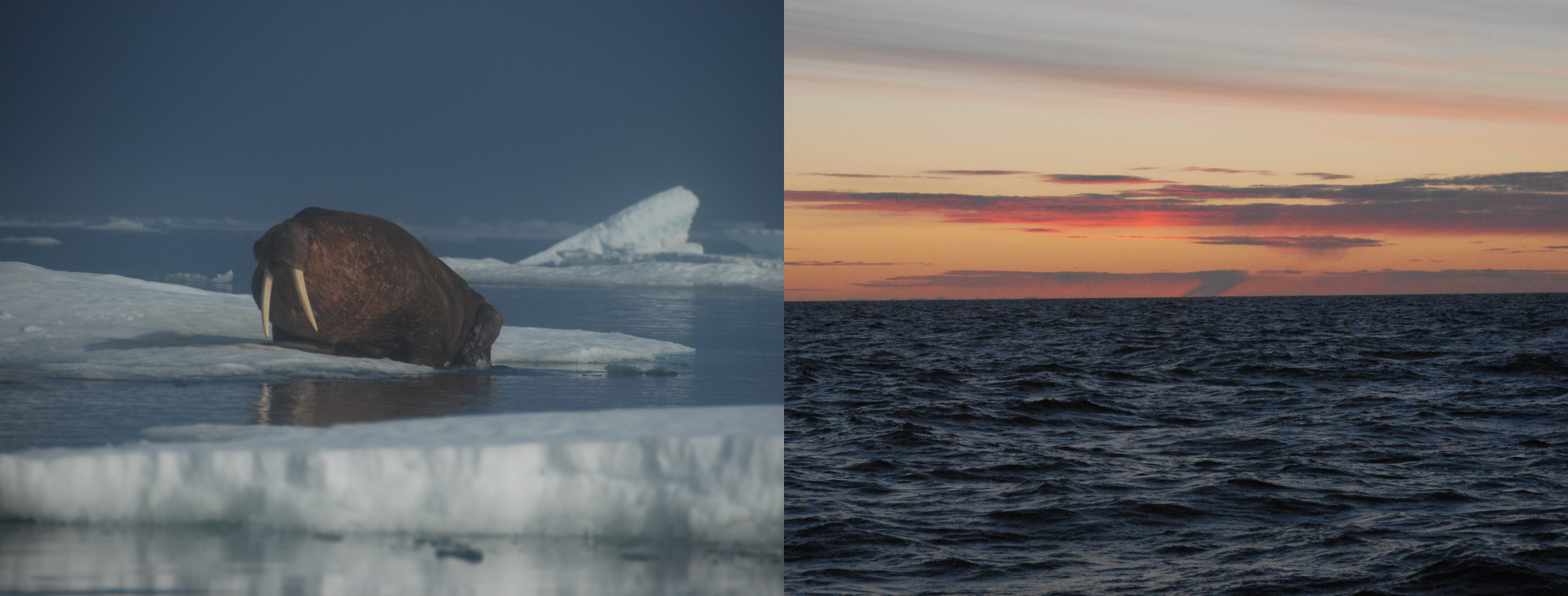 A walrus and arctic sunset