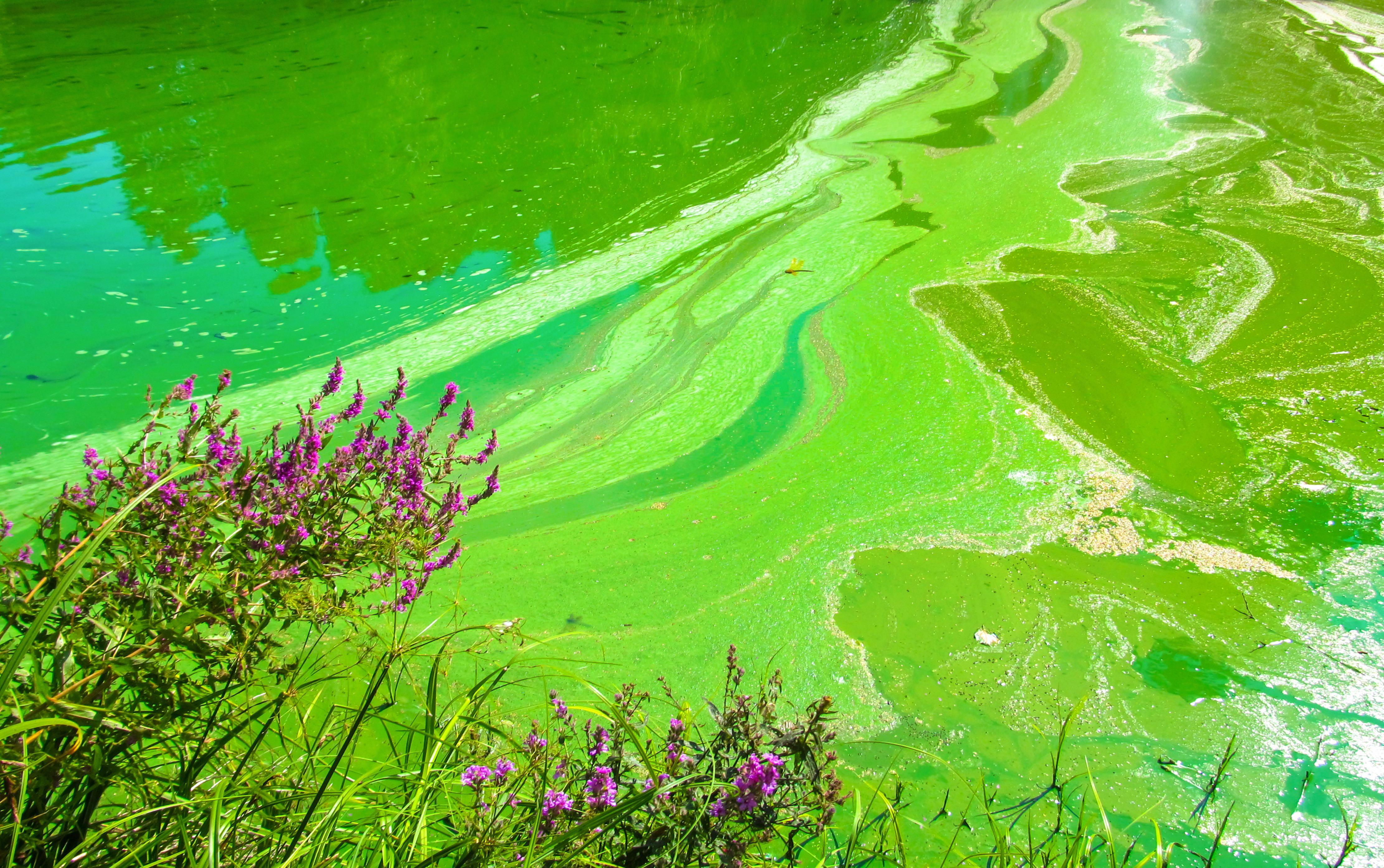 Bright Green Harmful Algal Bloom